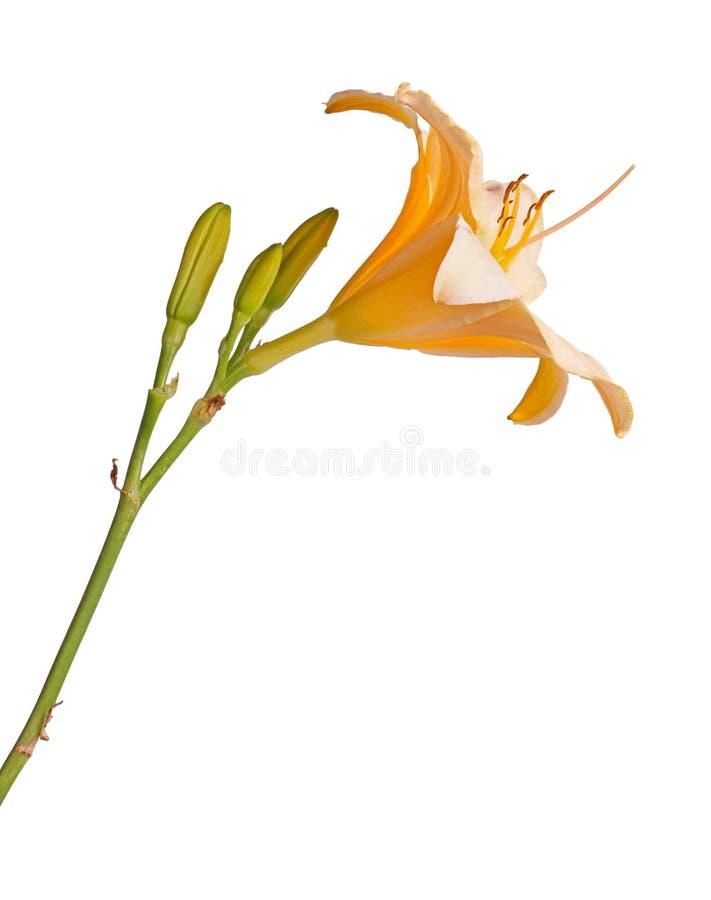 Boczny widok pojedynczy trzon z menchii i koloru żółtego daylily kwitnie Hemerocallis hybryd plus nieotwarci pączki odizolowywają fotografia royalty free