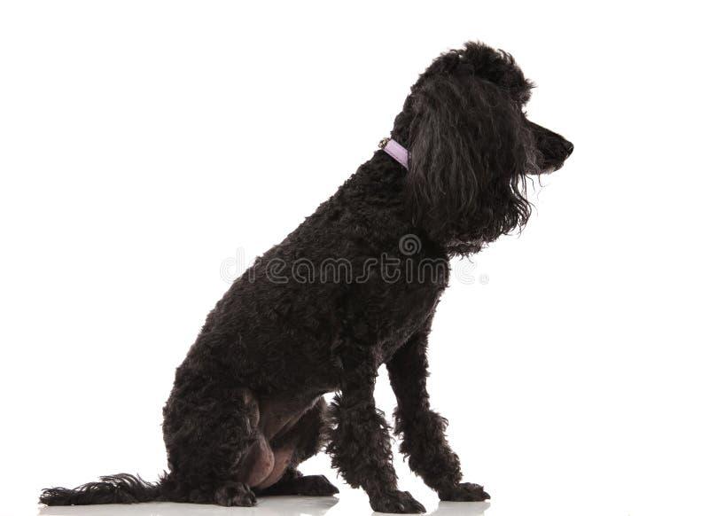 Boczny widok posadzony czarny pudel zdjęcie royalty free