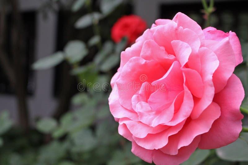 Boczny widok róż menchie kwitnie w Chiny ogródzie zdjęcie stock