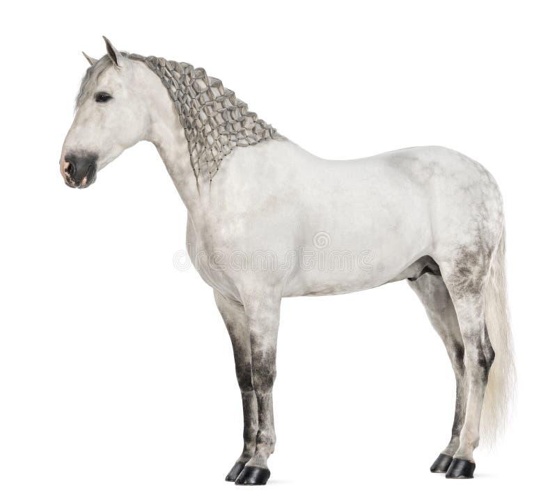Boczny widok samiec Andaluzyjska z plecionkarską grzywą, 7 lat także znać, jako Czysty Hiszpański koń lub PRE zdjęcie stock