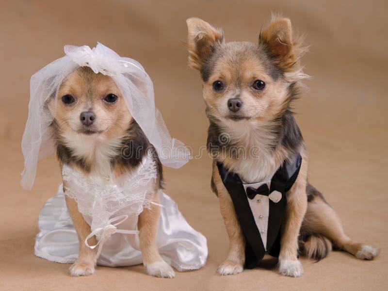 Boda del perro - novia y novio de la chihuahua imagen de archivo