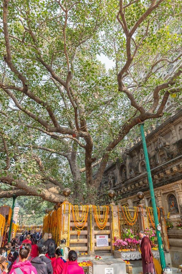 Bodhgaya,比哈尔省,印度- 12 21 2017年;在Mahabodhi Tem的Bodhi树 免版税图库摄影
