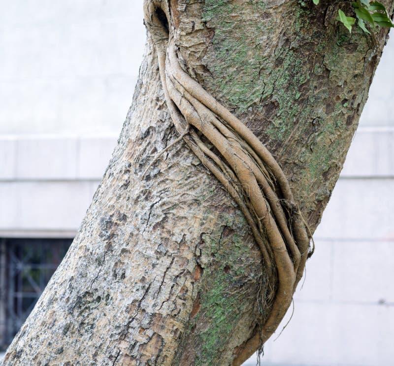 Bodhi树吠声  图库摄影