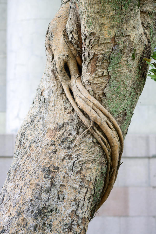 Bodhi树吠声  库存图片