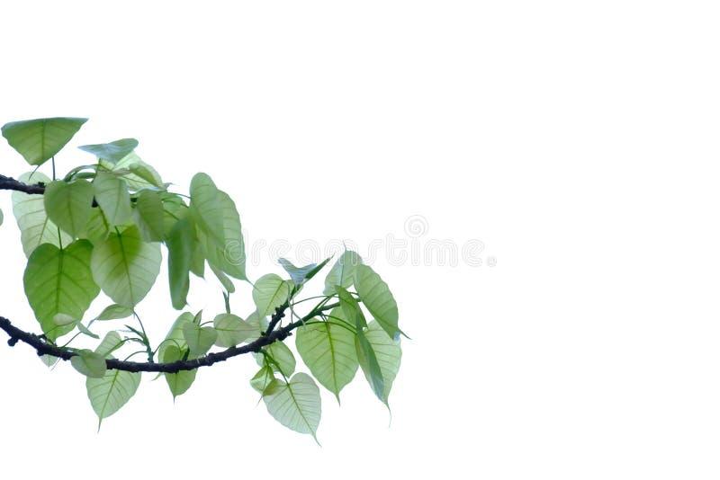 Bodhi树在白色被隔绝的背景离开 免版税库存图片