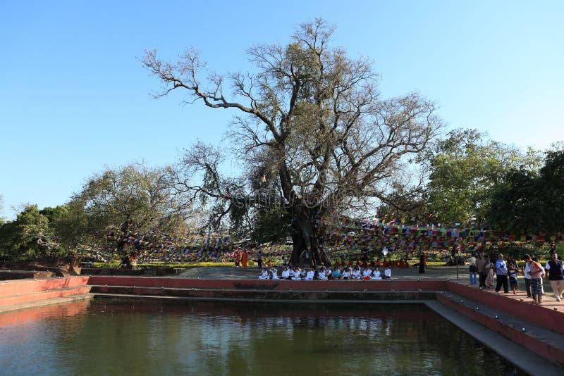 Bodhi树在蓝毗尼菩萨的出生地 免版税库存图片