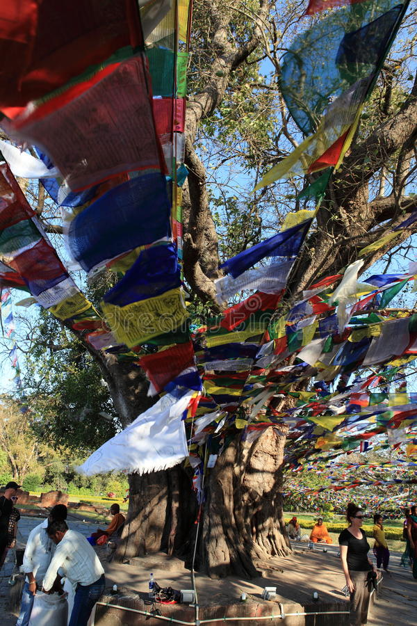 Bodhi树在蓝毗尼菩萨的出生地 免版税库存照片