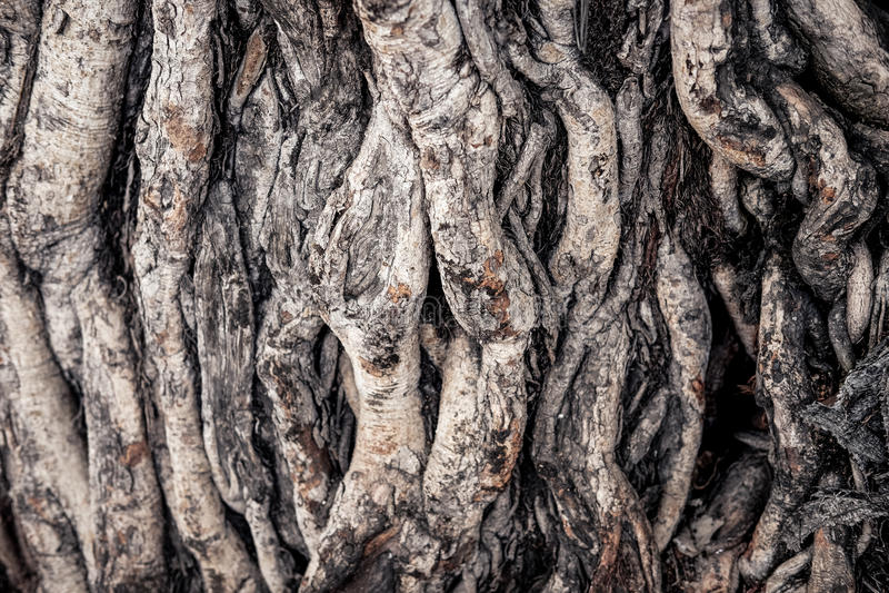 Bodhi-Baumwurzel lizenzfreies stockbild