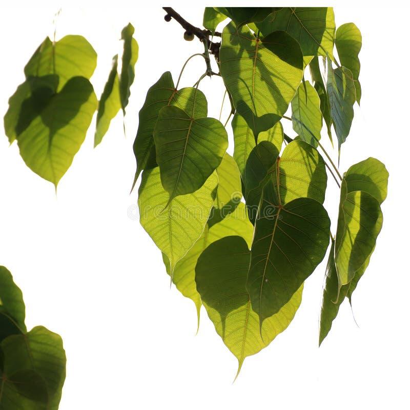 Bodhi blad från det Bodhi trädet arkivfoton