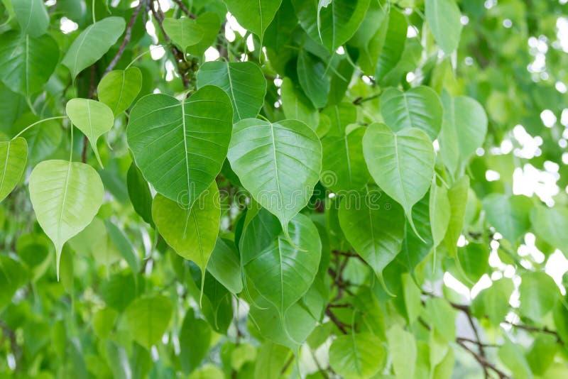 Bodhi blad från det Bodhi trädet royaltyfria bilder