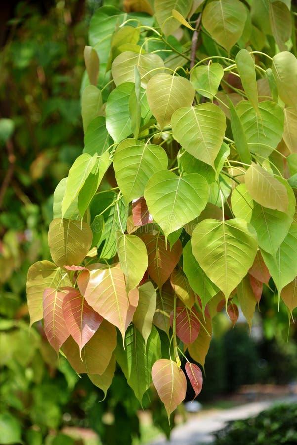 Bodhi blad från det Bodhi trädet royaltyfri bild
