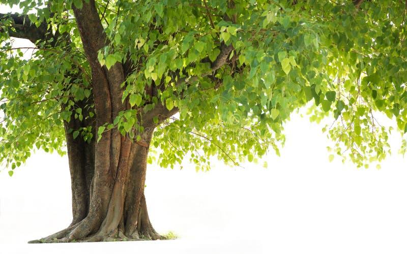 Bodhi Drzewo obraz stock