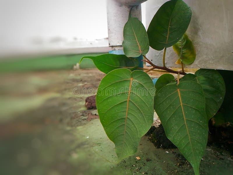 Bodhi Drzewo fotografia royalty free