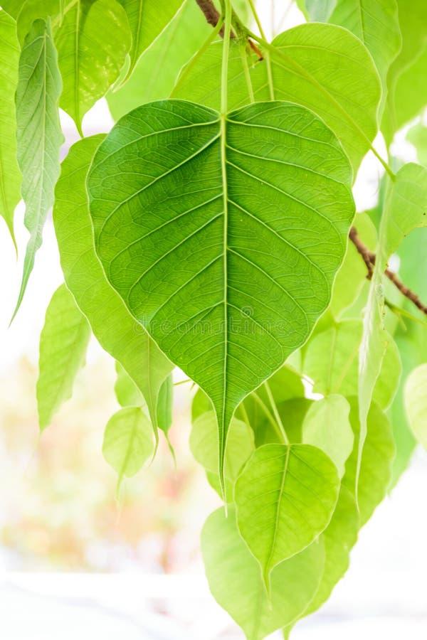 Bodhi eller Peepal blad från det Bodhi trädet s arkivbilder