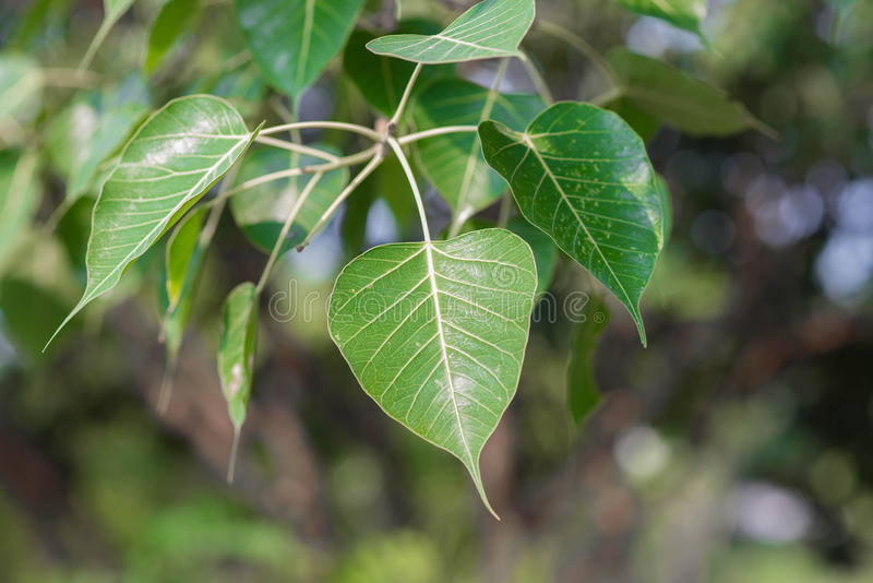 Bodhi eller Peepal blad från det Bodhi trädet, sakralt träd för Hindus royaltyfri bild