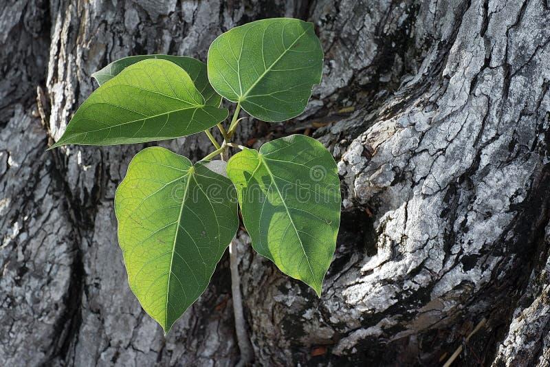 Bodhi, fundo, branco, folha, árvore, folhas, verde, natureza imagens de stock