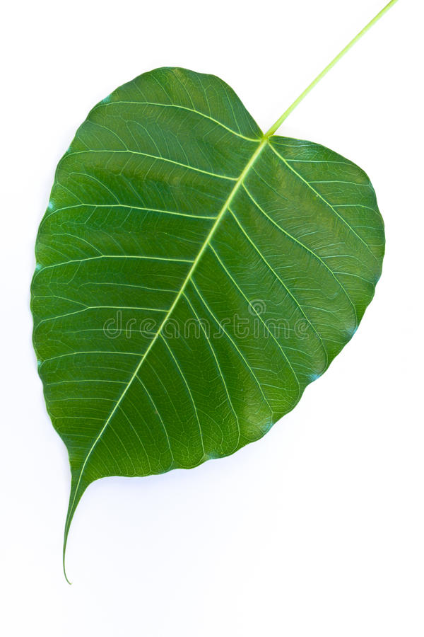 Download The Bodhi Leaf Stock Photography - Image: 24929952