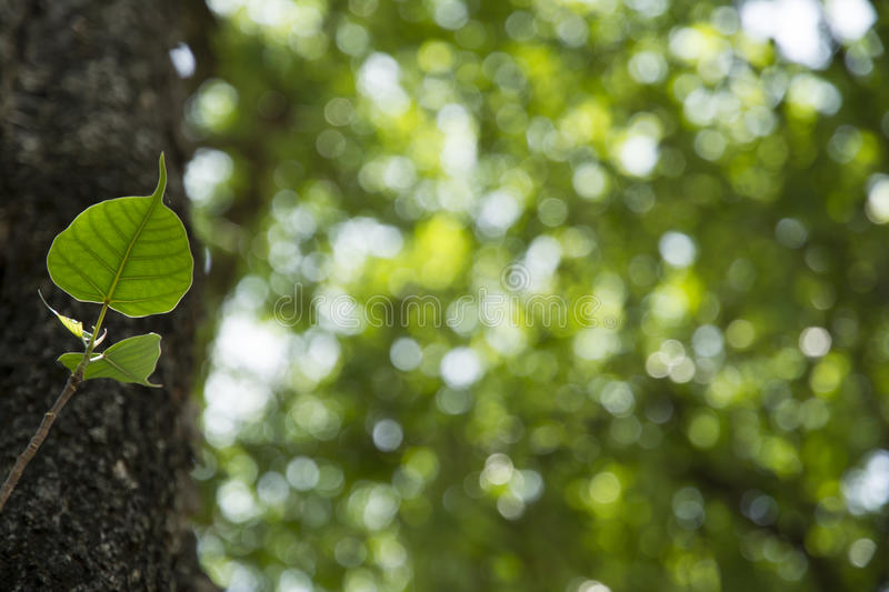 Bodhi leaf in Muang singh historical park royalty free stock photo
