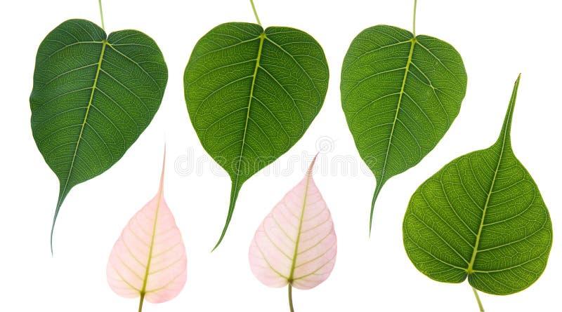 Bodhi leaves stock image