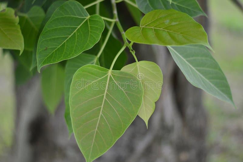 Bodhi o Peepal hojea del árbol de Bodhi con luz del sol imagen de archivo libre de regalías