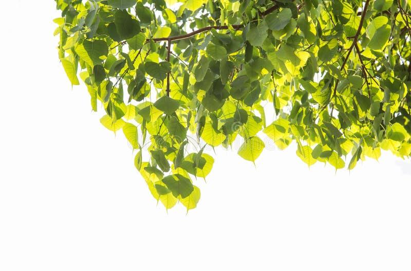 Bodhi oder Peepal treiben vom Bodhi-Baum, heiliger Baum für weißen Hintergrund der Hindus und BuddhistOn Blätter stockfotos