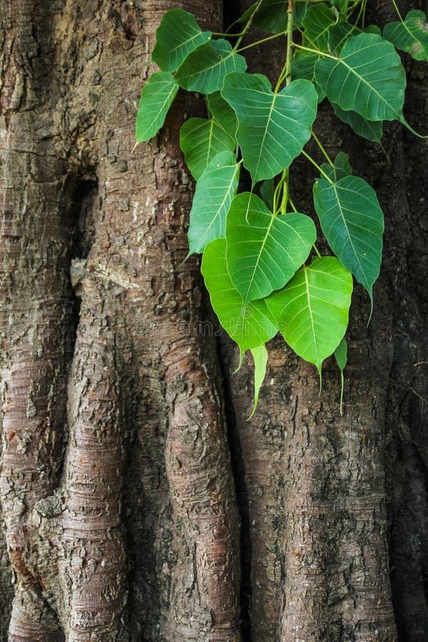 Bodhi träd royaltyfria bilder