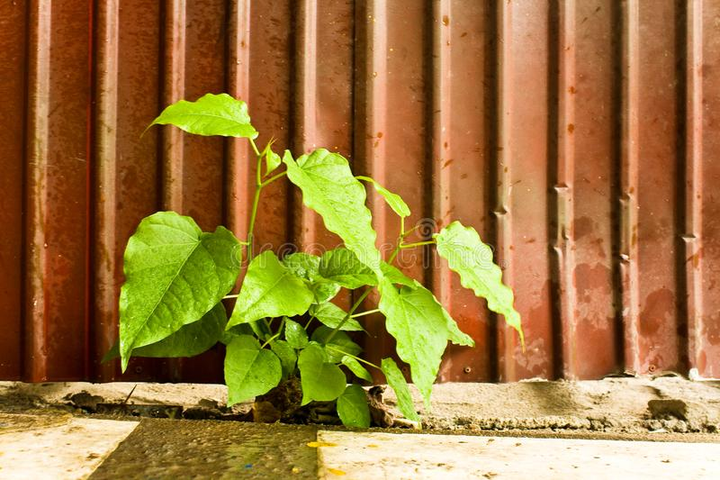 Download Bodhi Tree stock photo. Image of cell, foliage, closeup - 15800272