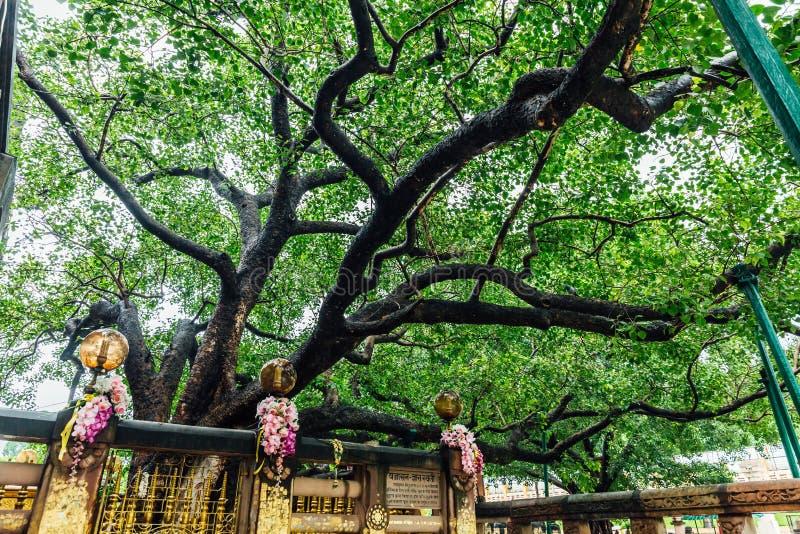 The Bodhi Tree near Mahabodhi Temple at Bodh Gaya, Bihar, India royalty free stock image