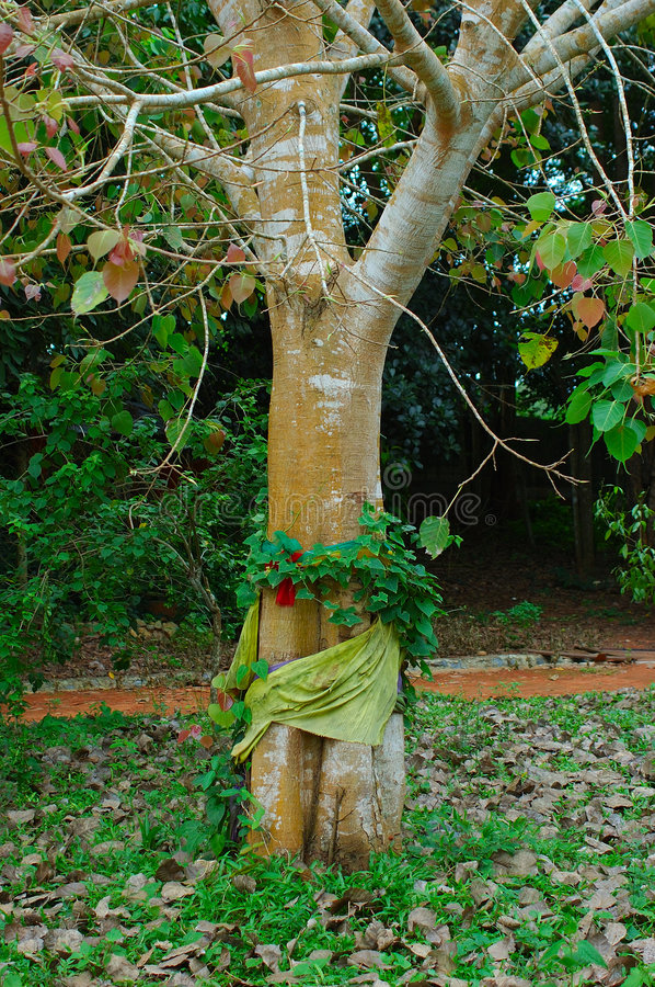 Bodhi Tree wrapped with Thai Silk. Surat, Thailand. royalty free stock images