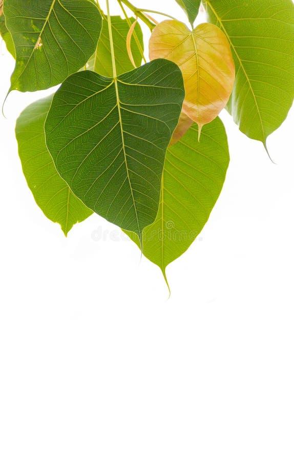 Bodhi treeleaf royaltyfri bild