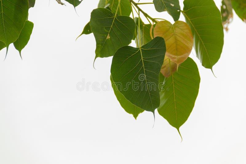Bodhi treeleaf royaltyfria foton