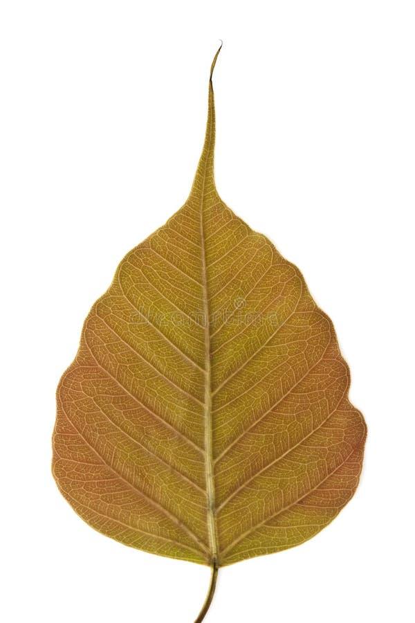 Bodhi treeleaf arkivfoto
