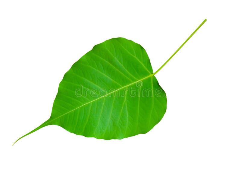 Bodhi treeleaf royaltyfria bilder