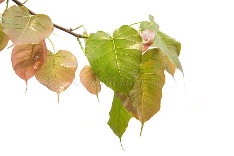Bodhi verlässt lokalisiert auf weißem Hintergrund oder Peepal-Blatt vom Bodhi-Baum stockfotos