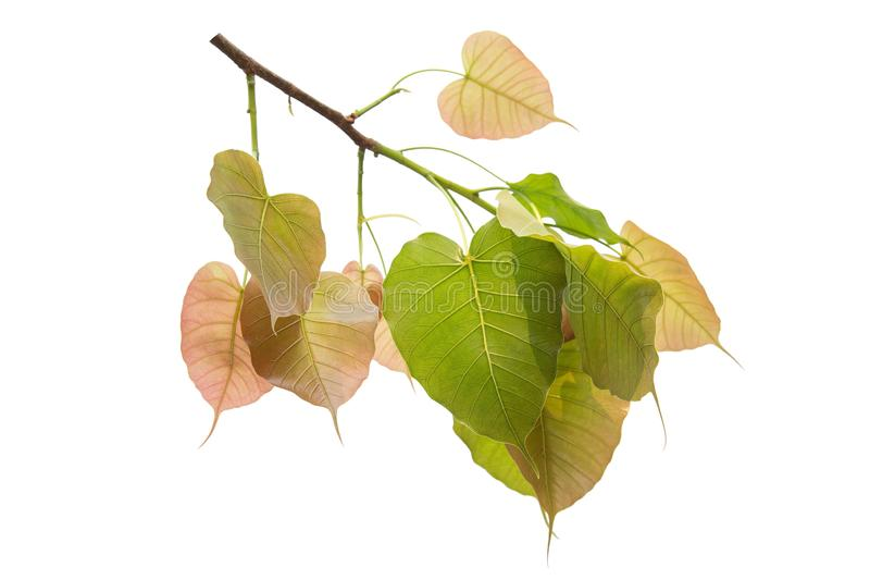 Bodhi verl?sst lokalisiert auf wei?em Hintergrund oder Peepal-Blatt vom Bodhi-Baum lizenzfreie stockbilder