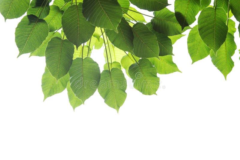 Bodhi verl?sst lokalisiert auf wei?em Hintergrund oder Peepal-Blatt vom Bodhi-Baum lizenzfreie stockfotografie