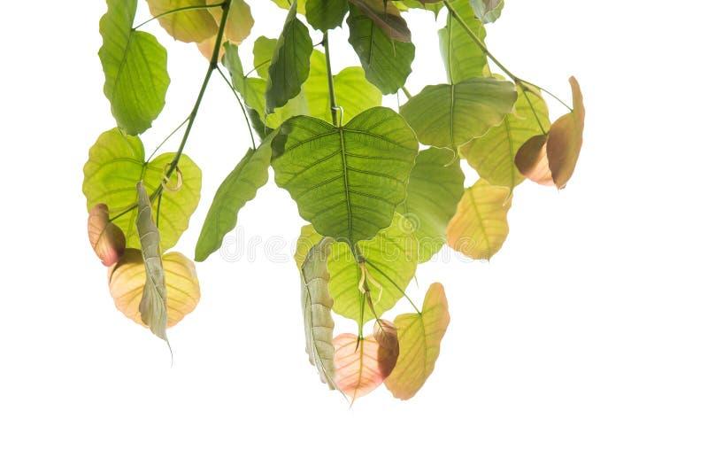 Bodhi verl?sst lokalisiert auf wei?em Hintergrund oder Peepal-Blatt vom Bodhi-Baum stockbilder
