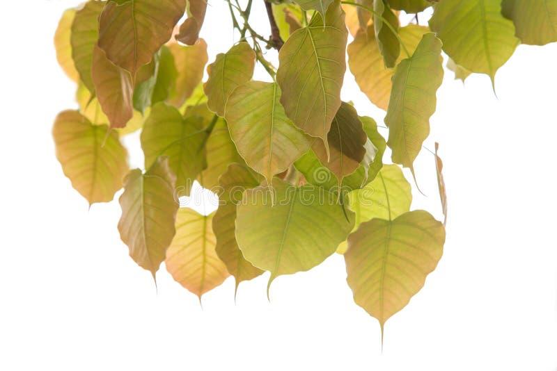 Bodhi verl?sst lokalisiert auf wei?em Hintergrund oder Peepal-Blatt vom Bodhi-Baum lizenzfreie stockfotos
