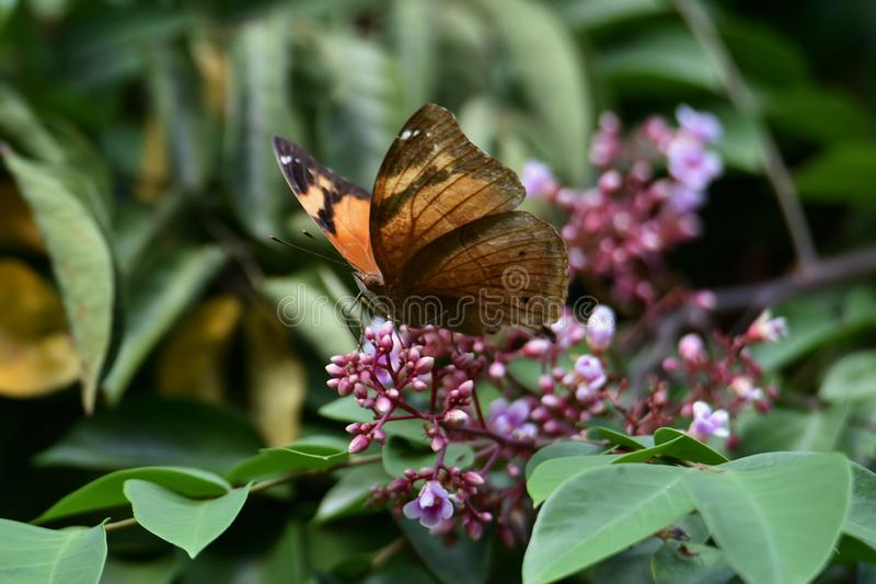 Bodied butterflies and brown wings stock image
