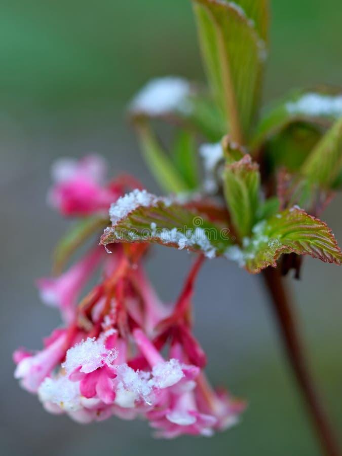 bodnantense黎明荚莲属的植物 库存图片