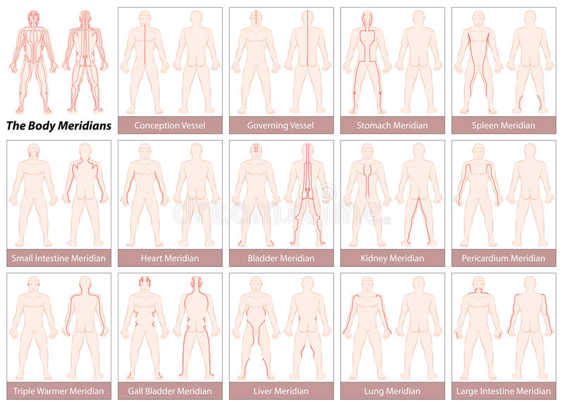 Body Meridians Chart. Body meridians - Chart with main acupuncture meridians, anterior and posterior view. Isolated vector illustration on white background vector illustration
