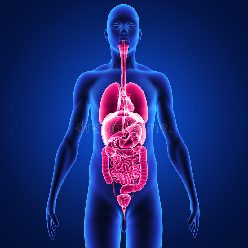 Body with organs stock illustration. Illustration of digestion ...