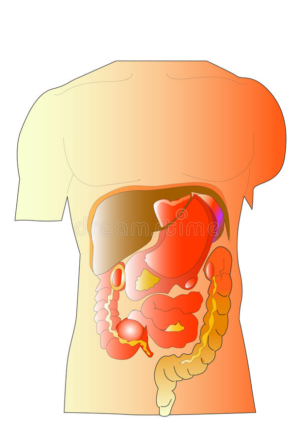 Body organs stock illustration. Illustration of body - 31817854