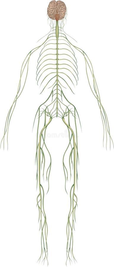 Body system series 6 stock illustration