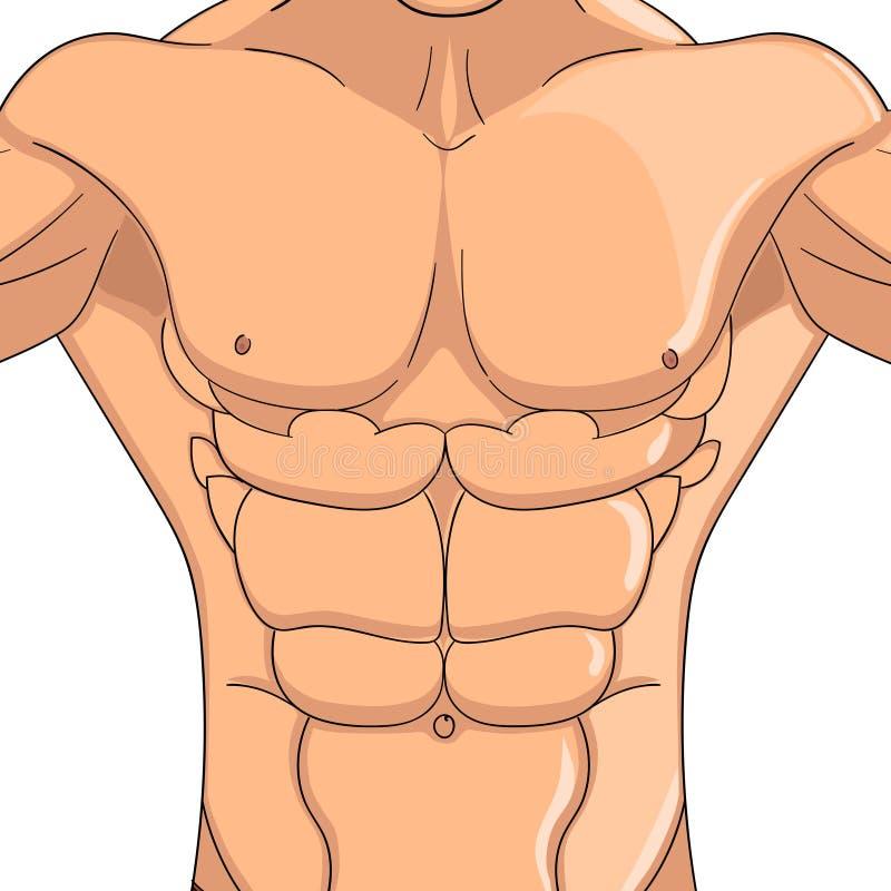 Bodybuilder, Anatomie des Bauchmuskelmannes Vektorgegenstand auf einem weißen Hintergrund lizenzfreie abbildung