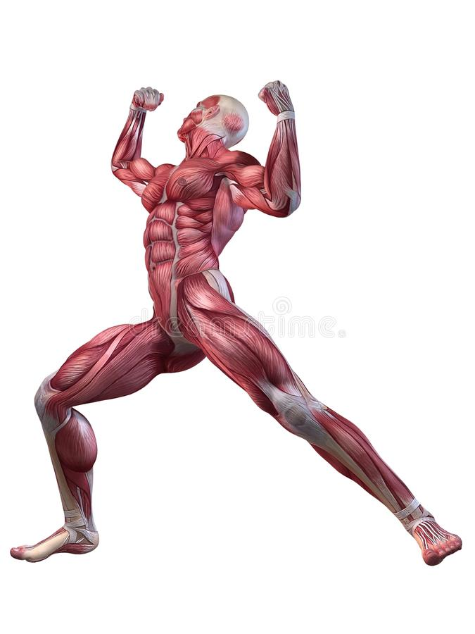 Bodybuilder pose. 3d rendered anatomy illustration of male body with muscles royalty free illustration