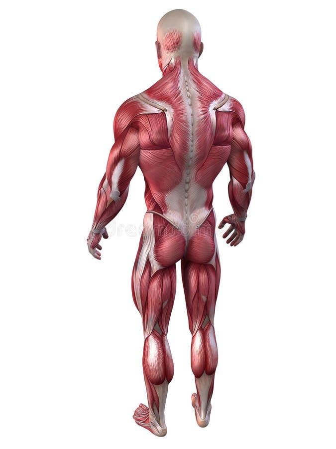 Bodybuilderanatomie stock abbildung