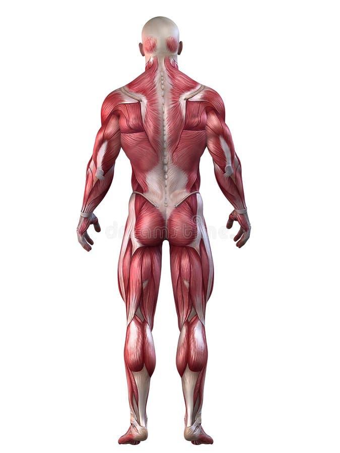 Bodybuilderanatomie lizenzfreie abbildung
