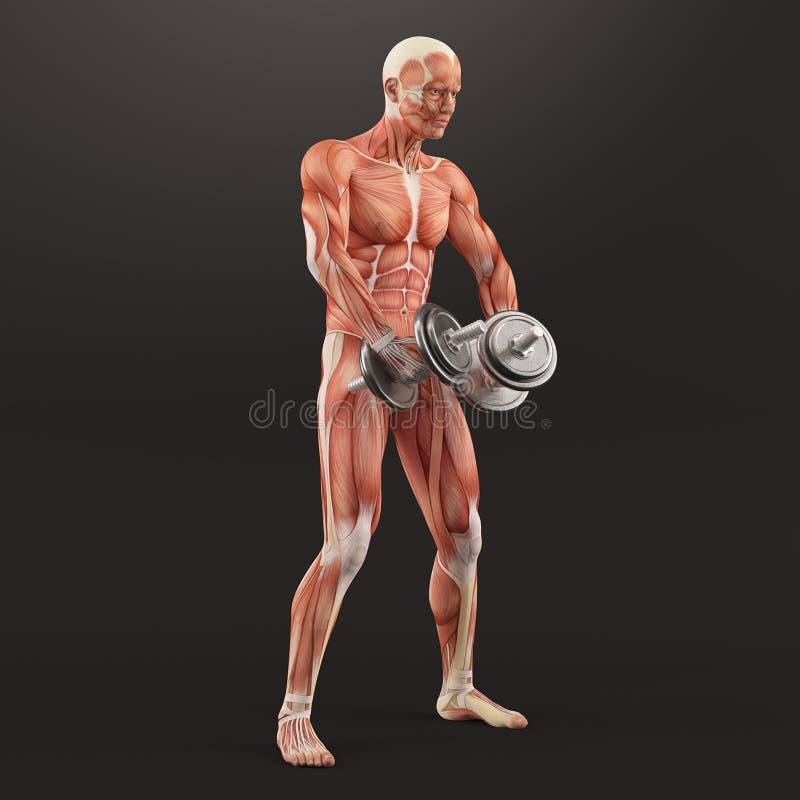 Bodybuilding gym ćwiczyć Lęgowi dumbbells podczas gdy stojący Naprzemianległa deltoid podwyżka Naramienna mięsień grupa royalty ilustracja