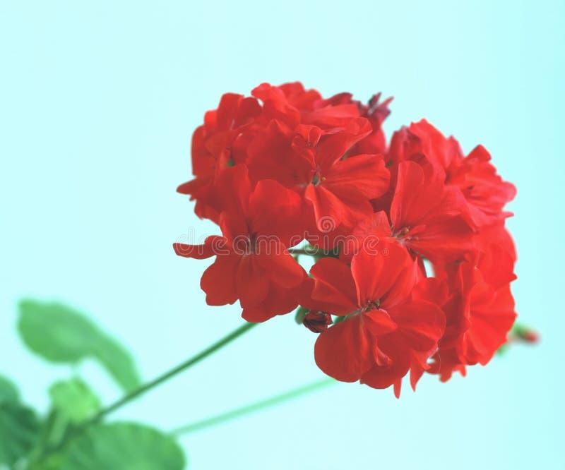 bodziszek czerwień obraz stock